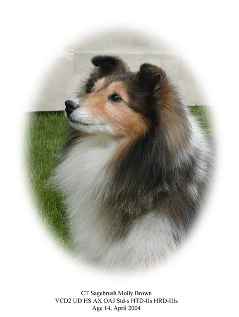 sheltie puppies for sale in ga sale in sheltie puppies for sale in