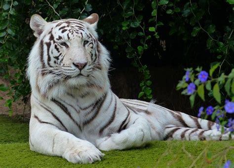 1000 ide tentang harimau putih di harimau anak harimau dan macan tutul salju