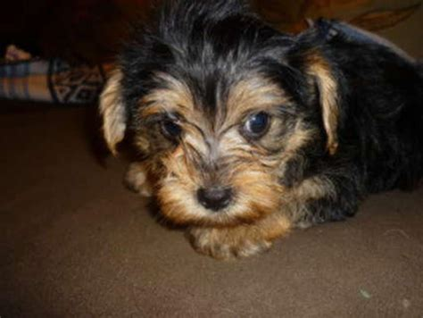 list of yorkie mix breeds yorkie maltese mix breed breeds picture