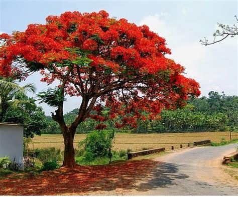 cara menanam dan merawat pohon flamboyan dari biji bibitbunga
