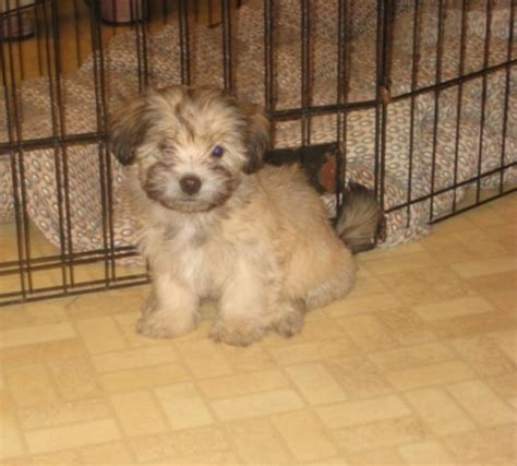 havanese breeders ontario havanese puppies for sale in stratford ontario pets in canada