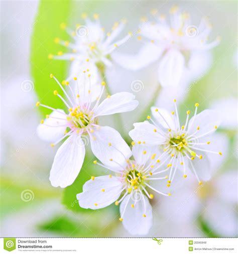 fiori di ciliegia primo piano bianco dei fiori di ciliegia immagine stock