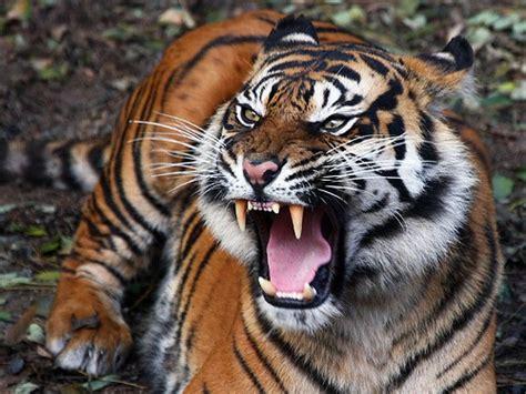 gambar wallpaper anak harimau gambar harimau jawa gambar keren dan unik wallpaper