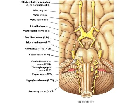 cranial nerves diagram cranial nerves introduction