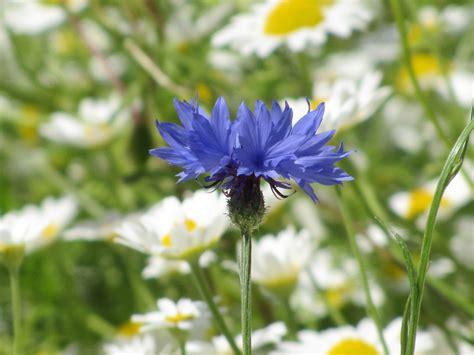 fiore fiordaliso come coltivare fiordaliso fiore felicit 224