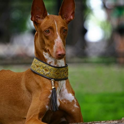 pharaoh hound puppies for sale pharaoh hound puppy pharaoh hound breed information