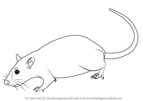 learn how to draw a rat rodents step by step drawing