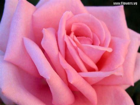 wallpaper flower pink rose free bright pink rose flower wallpaper pictures wallpoop