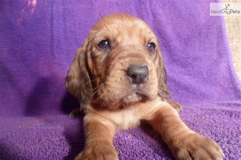 bloodhound puppies near me bloodhound for sale for 550 near tri cities tennessee d1102dbb 71f1