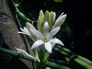 flower images sagar rajnigandha gulchadi flower