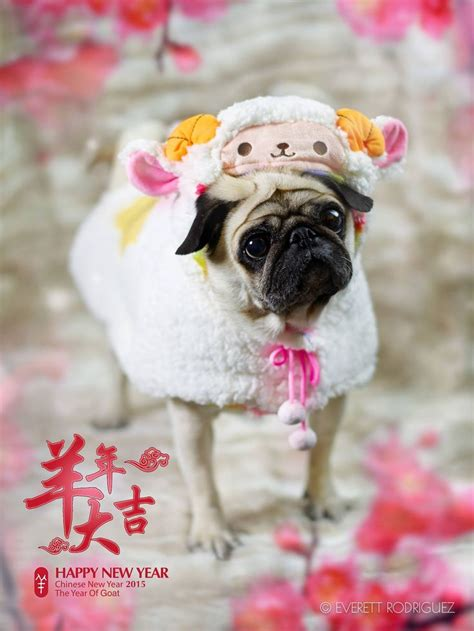 pug sheep 17 best images about pugs pet on pug brighton dogs and pug photos
