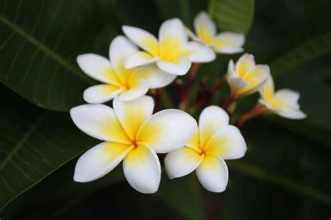 tiare fiore blogs4travellers dix fleurs embl 233 matiques pour voyager en