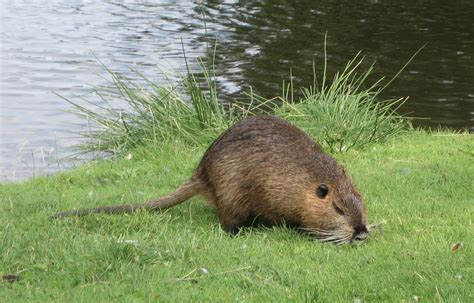 Sho Muskrat reporting rats alberta outdoorsmen forum