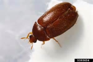 black carpet beetle attagenus brunneus coleoptera