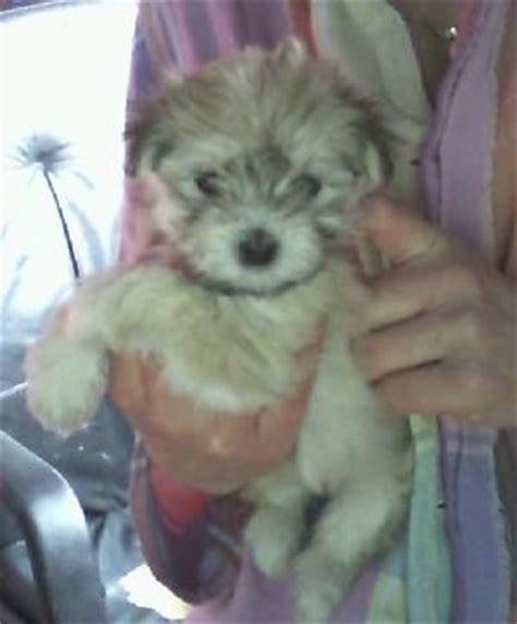 havanese breeders washington state havanese puppies for sale adoption from everett washington snohomish adpost