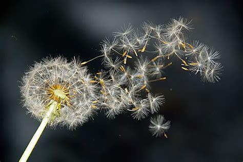 Bunga Dandelion 1 seed dispersal extras t r e e