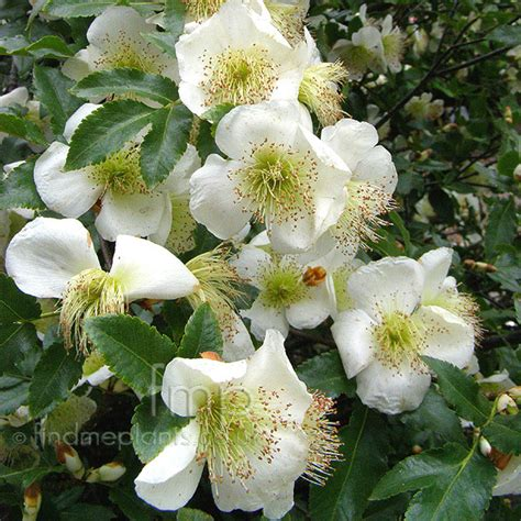 flowers and shrubs eucryphia glutinosa information pictures cultivation tips