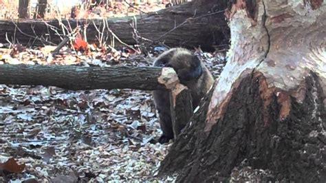 beaver cutting oak tree youtube