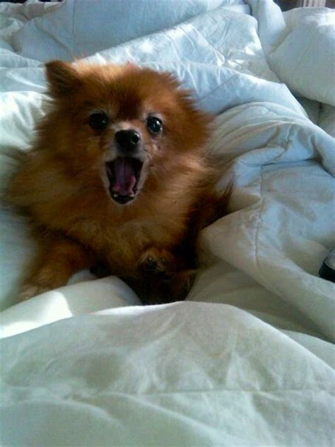 facts about pomeranian puppies 10 cool facts about pomeranians breeds picture