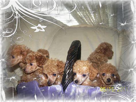puppies for sale eugene oregon poodle for sale eugene oregon dogs our friends photo