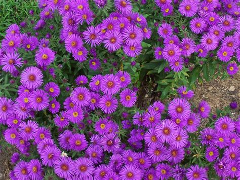 Aster Flowers Wallpapers My Note Book | aster flowers wallpapers my note book