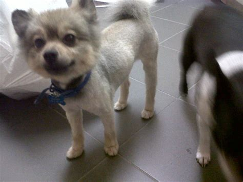how to shave a pomeranian how to cut a shiranian 17 best images about shiranian on pets shih 9 best