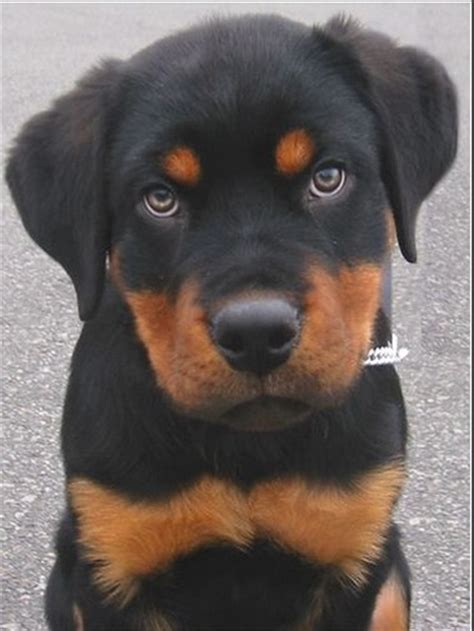 how to cut rottweiler cut picture of a rottweiler pup jpg