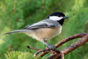 West Virginia State Flower And Tree - maine state bird black capped chickadee