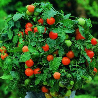 Bibit Bunga Benih Tomat Oxheart bibit bunga benih tomat garden pearl lazada indonesia