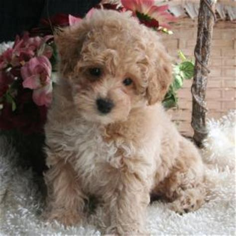 bichon poodle rescue indiana what are the bichon poodle poo or poochon dogs like