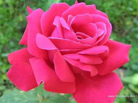 wallpaper flower pink rose yellow wallpaper pink roses
