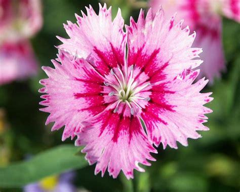 mi remanso de paz flores de goma mi remanso de paz clavel de china