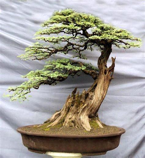 old bonsai tree yew bonsai slanting style shakan bonsai pinterest