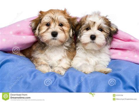 havanese de deux chiots mignons de havanese se situent dans un lit image libre de droits image
