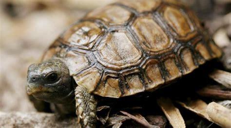 ufficio dogane pisa fermata all aeroporto con due tartarughe protette la