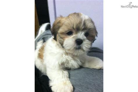 buy shih tzu near me puppy sellers near me pets world