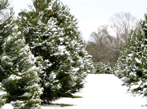how to start a christmas tree farm hobby south visitors bureau
