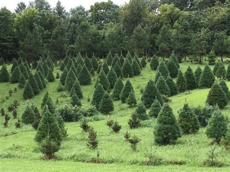 cut your own christmas tree lexington ky out your own tree at these 10 picture farms in kentucky