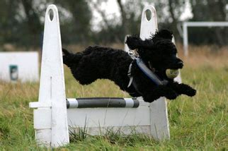 how to your for flyball early for flyball the cockapoo club of gb