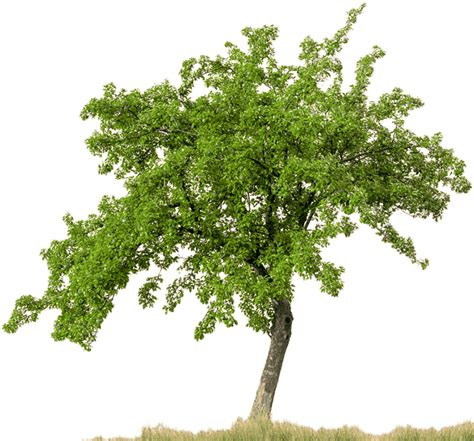 high quality tree png transparent images