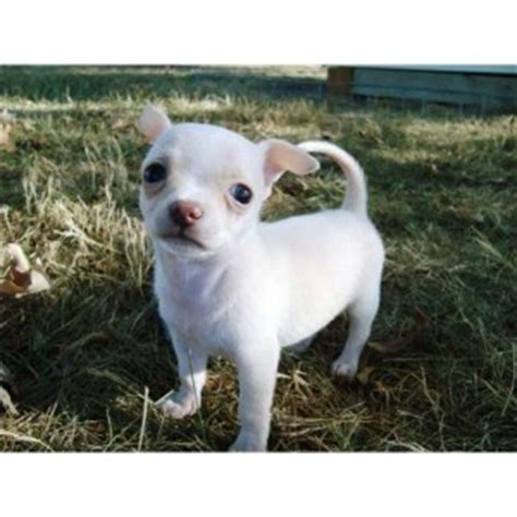 puppies for sale in lake charles la dogs lake charles la free classified ads