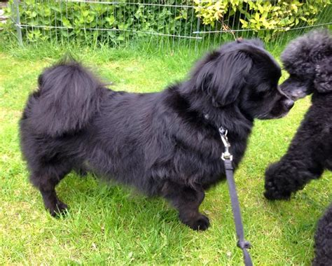 tibetan spaniel puppies sale tibetan spaniel derby derbyshire pets4homes