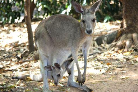 kangaroo facts animal facts encyclopedia