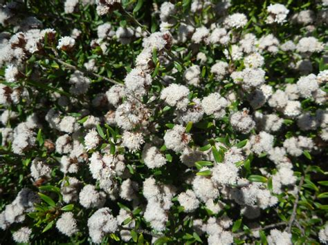 cryptandra scortechinii cotton bush gardening with angus