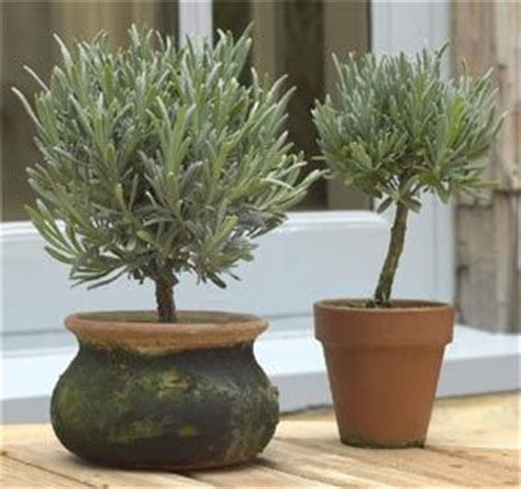 live rosemary topiary 17 best images about topiaries on winter