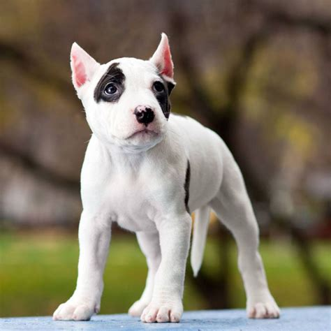 pitbull puppy names brown and white pitbull puppies www pixshark images galleries with a bite