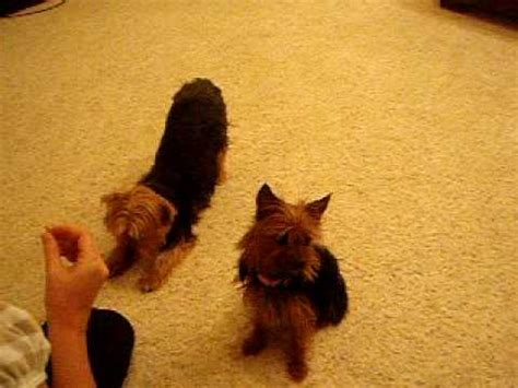 yorkie smartest terrier felix tricks performance doovi