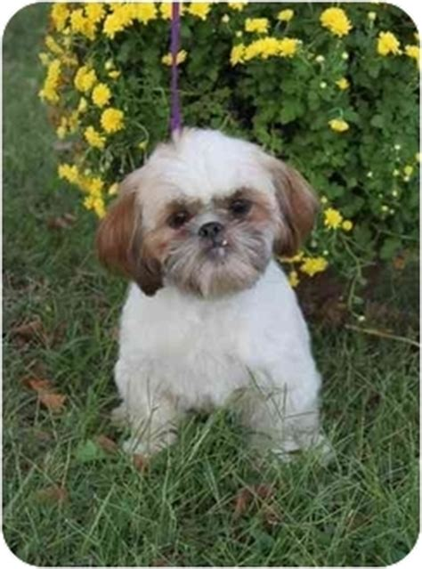 shih tzu breeders in kansas emmett adopted puppy wichita ks shih tzu