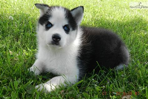 husky puppies for sale in missouri siberian husky puppy for sale near kansas city missouri fc192a6e c021