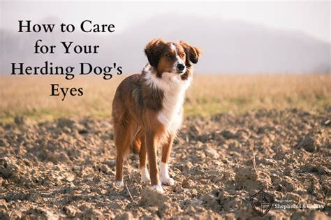 how to herding dogs how to care for your herding s the guild of shepherds collies